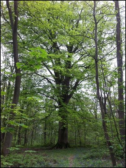 Hêtre dans la forêt